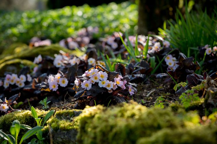 Irish Primrose Drumcliff taken in landscape setting they are so well suited to. Very hardy perennials!