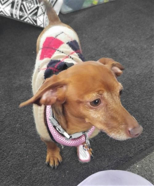 Hi I'm Maddy ! So all you want for Valentine's Day is a #sweet #loving #dachshund girl to #love you forever? How superb ! That's me ! I'll get my sweaters packed while you get my #adoption papers filled out !