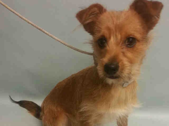 LOUIE IS SAFE, RTO - 09/21/16 - **PUP** - Urgent Manhattan - LOUIE - #A1090266 - MALE BROWN/WHITE CHIHUAHUA…