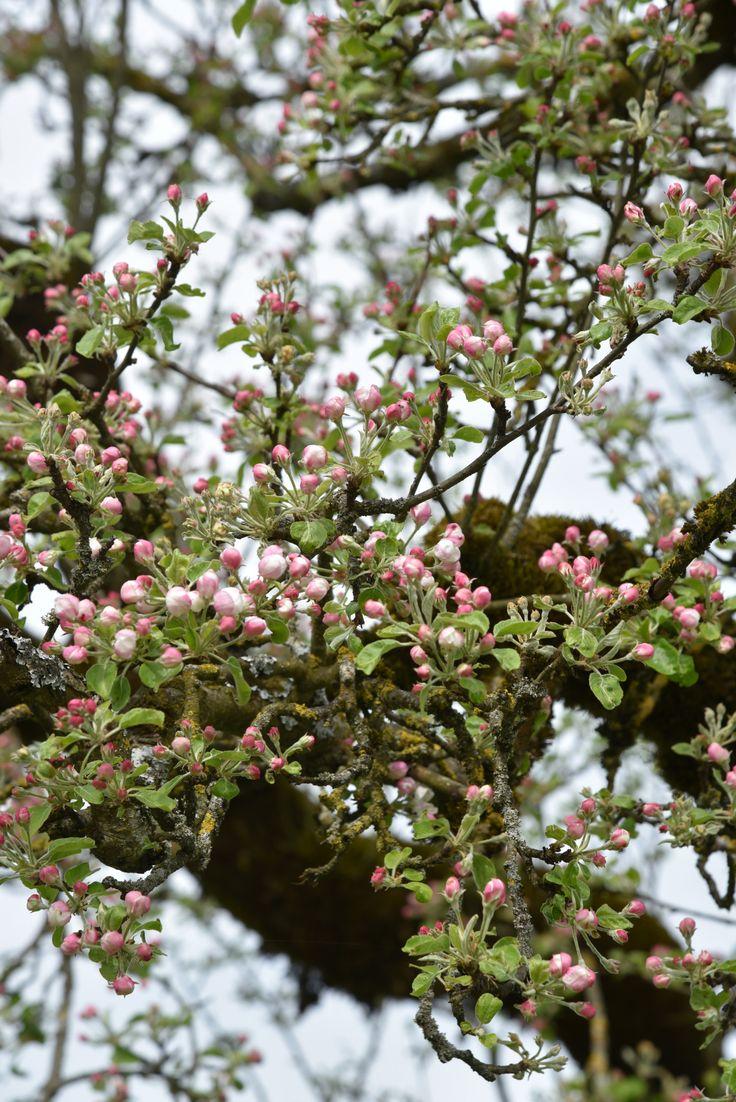 nilalin apple tree own E҉nglish I҉dylls Apple