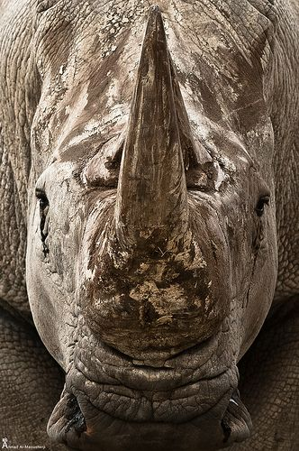 white rhino (wide-lipped rhino)