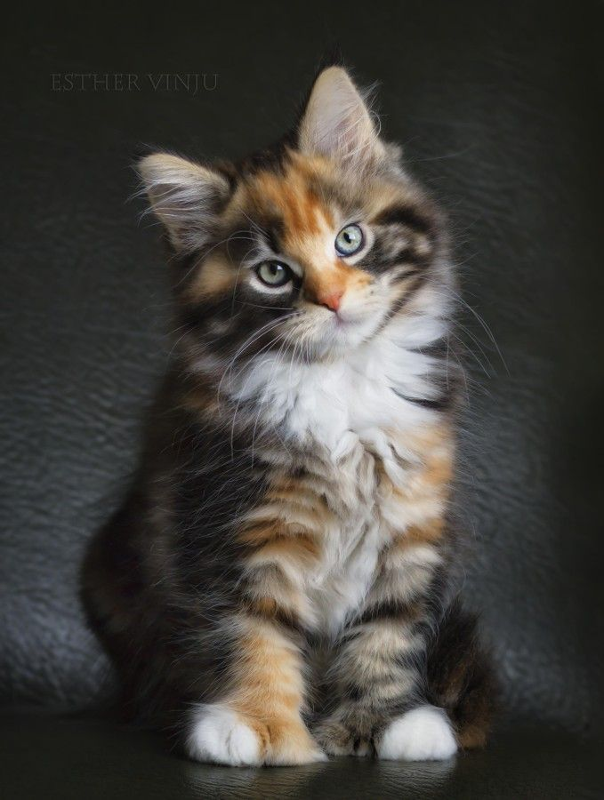 The Rebel by Esther Vinju ~ Pretty Tortoiseshell Kittie ....