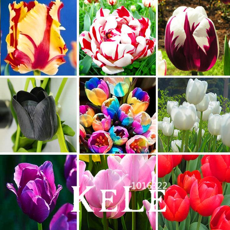 10 pcs tulip bulbs not tulip seeds 19 colors available tulips variety fresh bulbous root flower corms planted