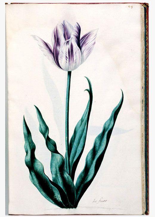 From a dutch tulip book 1630-1639