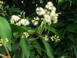 WATERHOUSIA floribunda (Weeping Lilly Pilly) Australian Native Tree - Frost resistant.