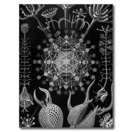 Haeckel Phaeodaria Post Cards