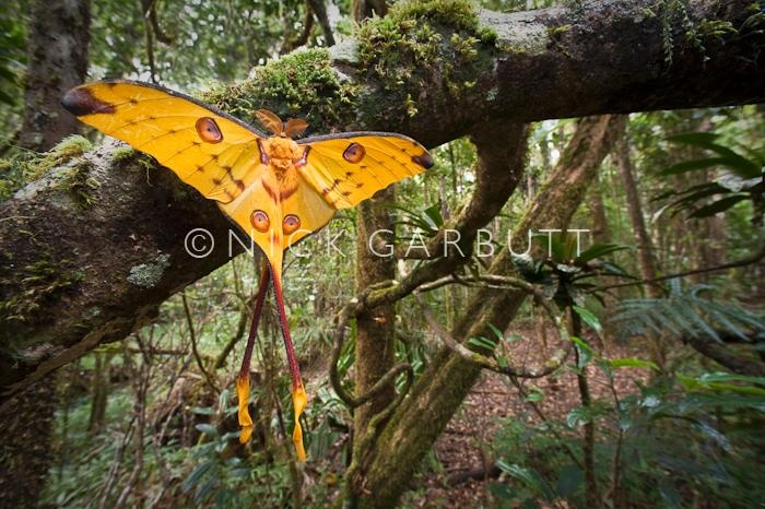 Male Comet Moth in Madagascar forest
