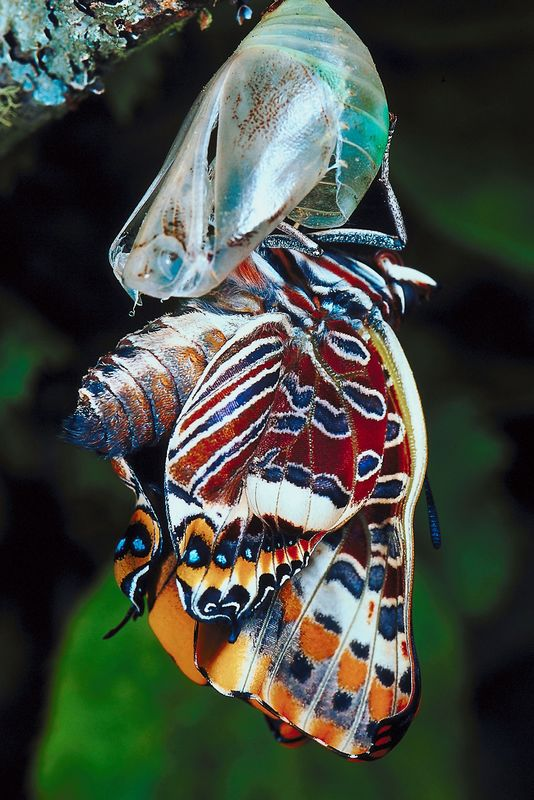 Butterfly emerging from chrysalis with remarkable patterns on its wings, emphasizing the beauty that can come from a simple caterpillar