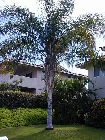 Queen Palm Tree #PinMyDreamBackyard