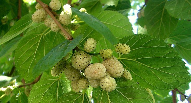 Cu siguranţă mulţi dintre voi aţi mâncat aceste fructe în copilărie când mergeaţi în vacanţă la bunici,dar atunci nu aveaţi habar de cât de benefice sunt pentru organismal nostru. Dudul alb are o viaţă scurtă, creşte rapid. Este un copac mic de dimensiuni medii, care creşte până la 10–20 m. Specia e