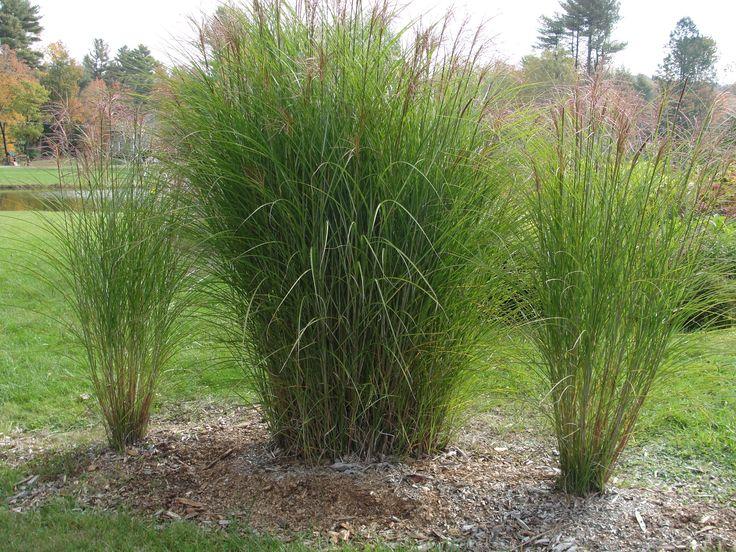 Photo ornamental grasses ornamental grass backyard for Ornamental grass ideas