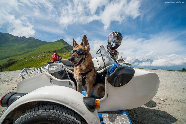 Owczarek Niemiecki, Motocykl, Kask, Okulary, Śmieszne