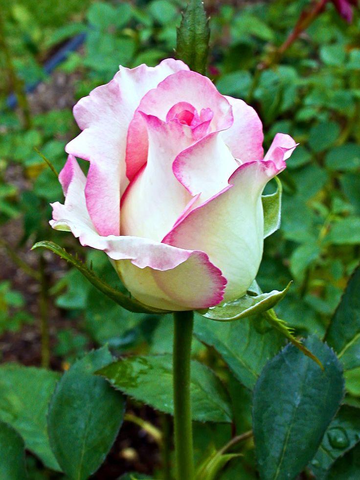 preciosa rosa