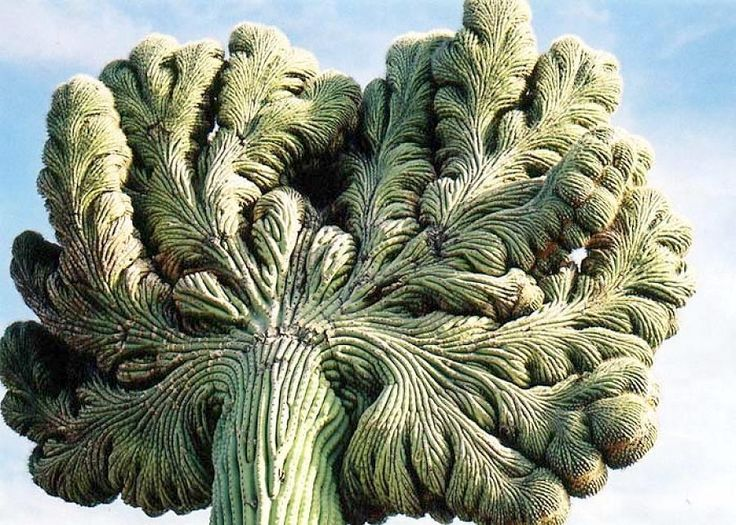 Full size picture of Crested Saguaro ( Carnegiea gigantea ...