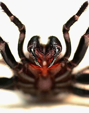 Funnel-web spider. Death can occur within 15 minutes of being bitten.