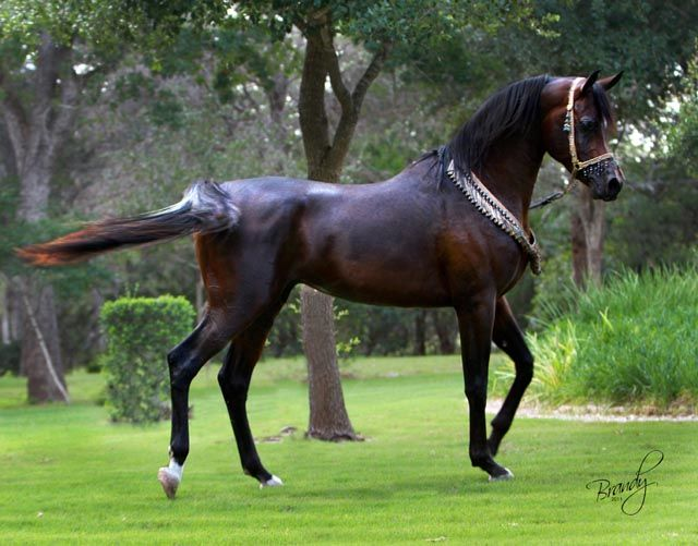 egyptian arabian horses | ... LDA « LD Arabians – Straight Egyptian Arabian Horses For Sale