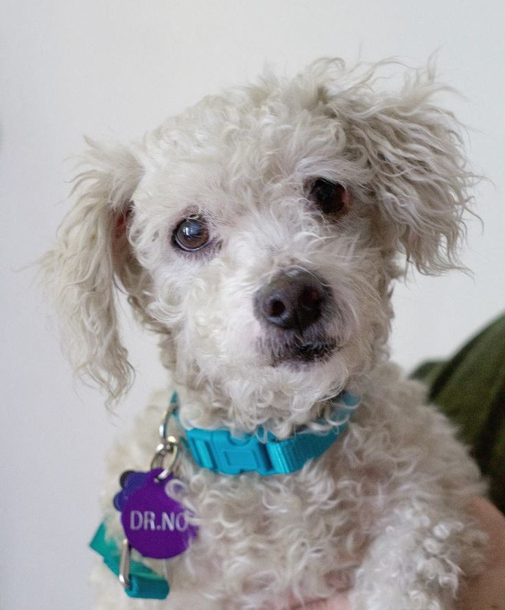 Poodle (Miniature) dog for Adoption in Pittsburg, CA. ADN-698840 on PuppyFinder.com Gender: Male. Age: Adult