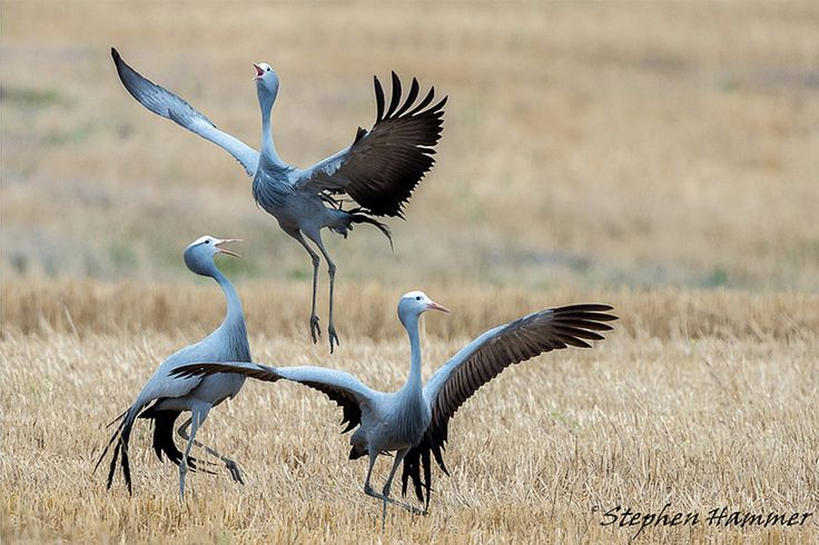 Southern Africa's Blue Crane puts on courtship show