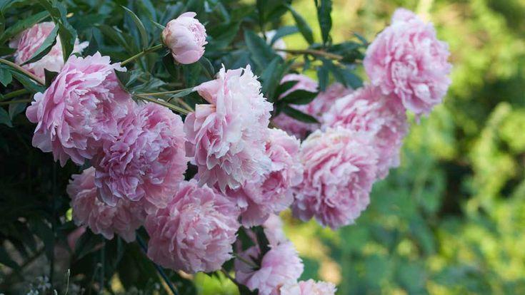 Vakre blomster i rosa-lilla-rød-hvit (og tildels orange og gult) som nikker med hodet og sprer søt duft. En av hagens...