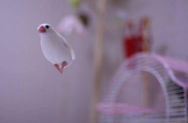 ~~ みなさん、こんにちは~ 今日は、白文鳥キティちゃんの飛んでる写真がいっぱいです。 No.1 最近、「文鳥の飛翔写真」とかで検索されてお越しいただく方が多くて 記事にしてみました。お越し頂きありがとうございます。 (とても長い記事です~ ) No.2 私も
