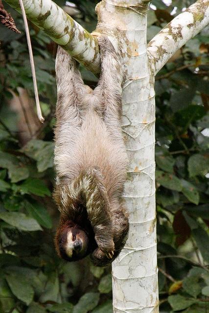 Sloth sleeping upside down <3 Perezoso durmiendo boca abajo - 2011 042 Costa Rica Manzanillo076 by ngari.norway, via Flickr