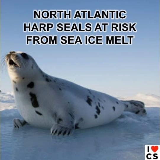#ClimateChange Is Too Hot For Harp Seals  Full story