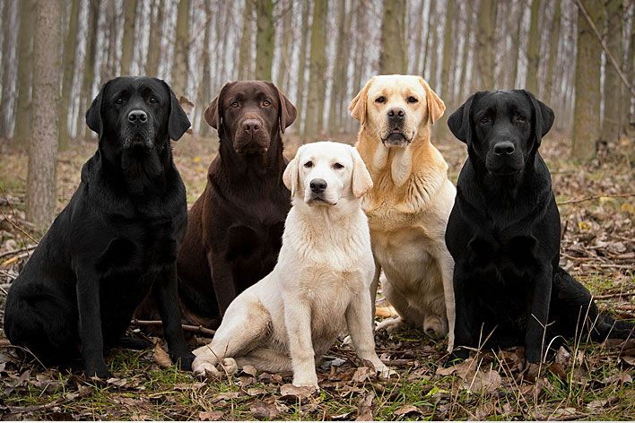 Tipos de color del perro Labrador Retriever