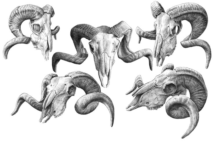 Goat skulls. Hand drawn. by rednex on Creative Market