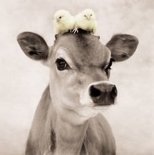 How adorable is this calf and the baby chicks on its head?!