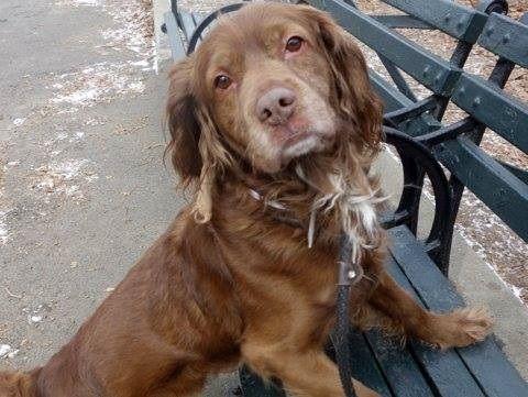 Eddie - Boykin Spaniel/Cocker Spaniel mix - 2 yrs old - Male - Abandoned Angels Cocker Spaniel Rescue - Flushing, NY. - http://www.nyabandonedangels.com/ - https://www.facebook.com/AbandonedAngels - http://www.adoptapet.com/pet/11436257-flushing-new-york-boykin-spaniel-mix - https://www.petfinder.com/petdetail/28924748/