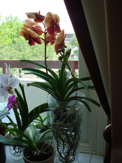 168 best images about orchids on pinterest - Vanda orchid care ...