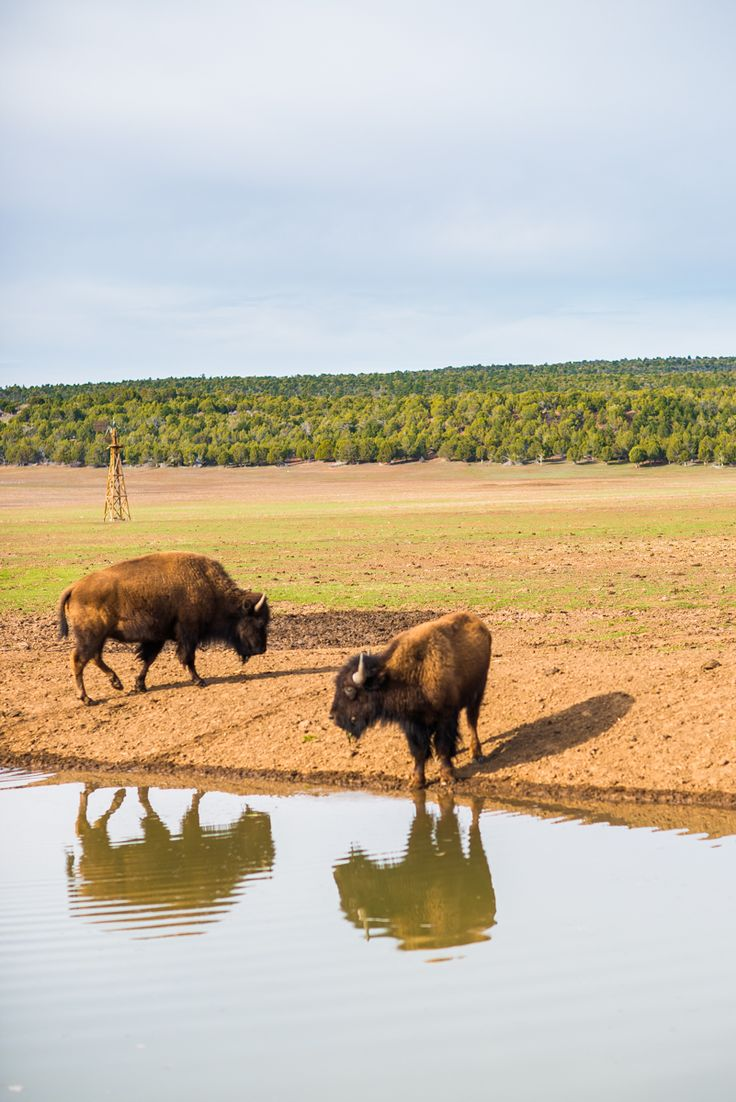 Buffalo by the watering hole at Zion Mountain Ranch, Utah.