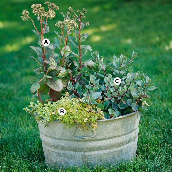 Create a Low-Care Container A mix of colorful, drought-tolerant sedums creates foliage interest from spring to late summer; then in fall, they'll burst into bloom providing yet another season of interest. Bonus: Plant these perennials in your garden as they finish blooming and you can enjoy them again next year. A. Sedum 'Matrona' -- 2 B. Sedum makinoi 'Ogon' -- 1 C. Sedum 'Red Cauli' -- 1