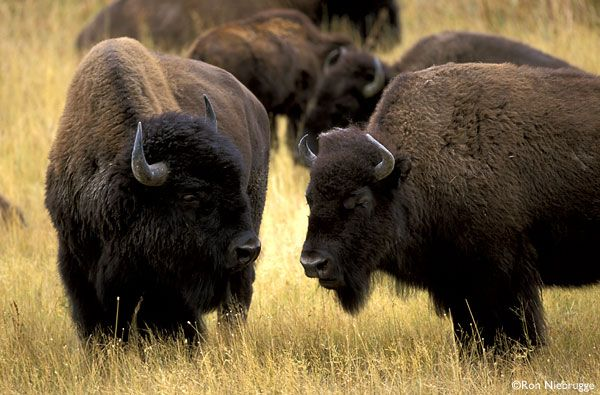Native American Bison | content view article id 5155 tribes prepare way for buffalos return ...