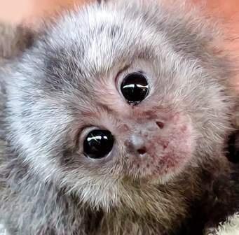 Baby marmoset monkeys for adoption Finland