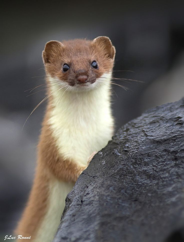 Small Animal Reptiles And Amphibian Habitats: 277 Best Images About Mustelidae