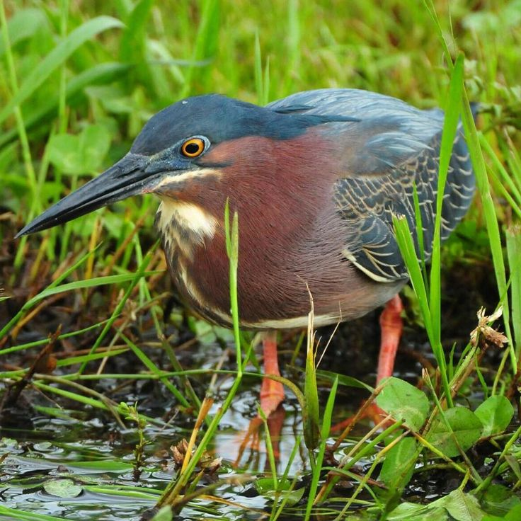 This is a little green heron in search of food. #bird #heron #nikon #littlegreenheron #animal #animals #nature #photo #naturelover #naturephotographer #birdsofinstagram #charity #water #beauty #outdoors #photographer #photography #giveback #nonprofit #philanthropy #nikonphography #tennessee #wildlife #wildlifephotography #conservation #feathers #conservation #beautiful #photograph #lake