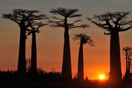 Efter en laaaang pause er vi kommet på nettet igen, så her får I fortsættelsen af vores tur. Ved byen Morondava, som ligger på Madagascars vestkyst, kan man se den meget berømte baobab-allé – et af de mest fotograferede steder i Madagascar. Baobabtræer er nogle meget mærkelige størrelser. Det ligner nærmest et træ, som er vendt på hovedet, så rødderne …