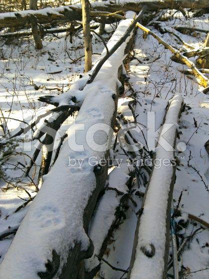 Bobcat tracks in snow