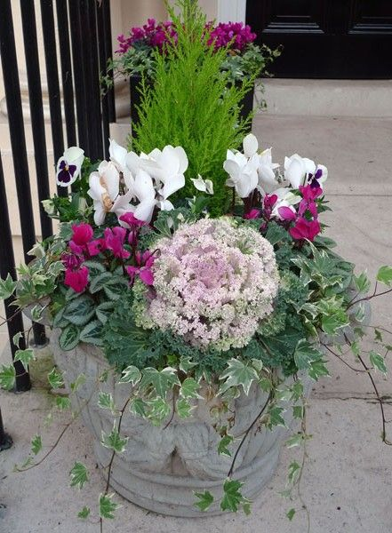 Lemon Cypress, Ornamental cabbage, cyclamen, ivy and pansy in a pot. Found on: http://www.throughthegardengate.co.uk/blog/?tag=cyclamen