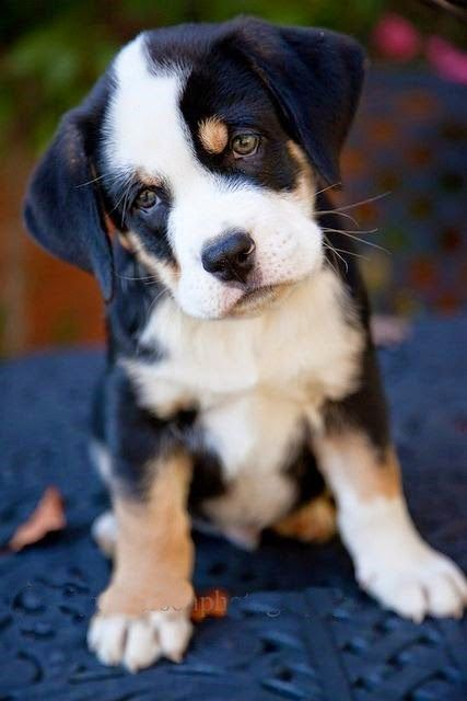 See more Black and white cute dogs http://cutepuppyanddog.blogspot.com/