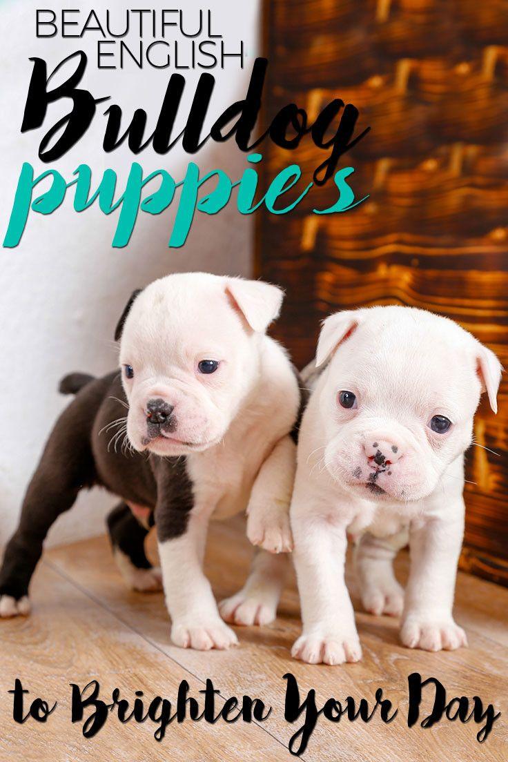 Cutest English Bulldog Puppies Cute Baby Dogs English Bulldog Puppies Bulldog Puppies