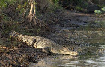 Saltwater Crocodile: interesting facts