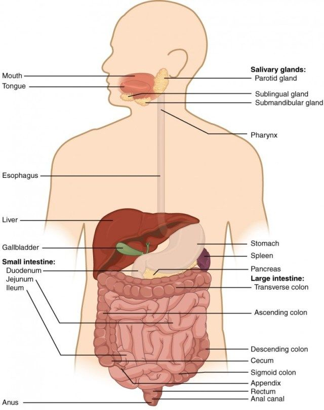 Real Pictures Of The Digestive System   Digestive system ...