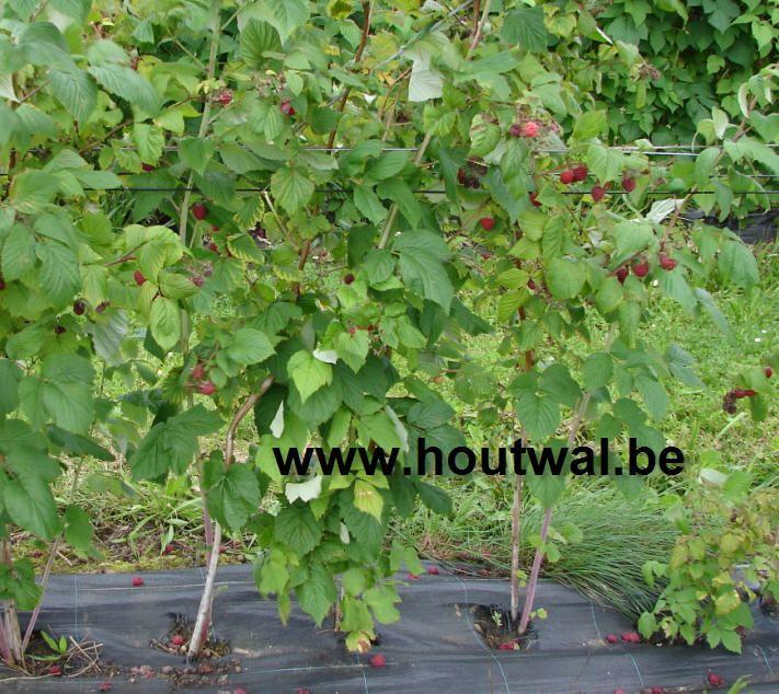 Frambozen: vorm- en onderhoudsnoei. Zomer- en herfstframbozen snoeien na de oogst of in het vroege voorjaar.(Rubus idaeus)