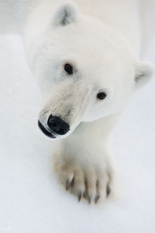 Polar Bears......love them. (KiRaidesu: Yes, I do. So much!).
