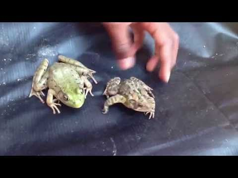 Difference between frog and toad - YouTube