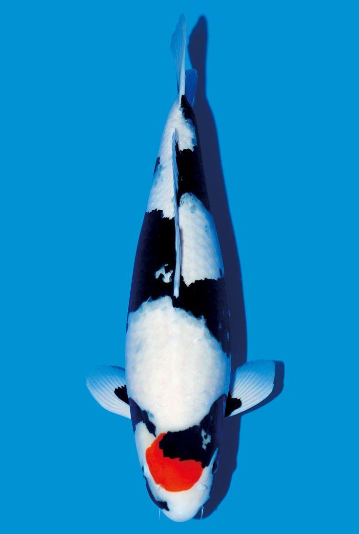 265 melhores imagens de carp fish beautifull no pinterest for Carpe koi tancho