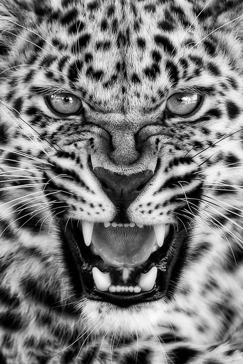 Stunning Leopard portrait (photographer not credited)