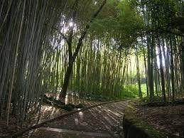100 Giant Bamboo Seeds - Bambusa Arundinacea